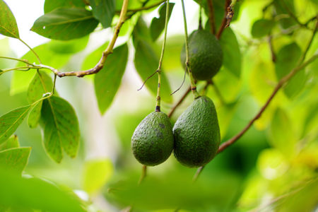 Avo think about it: Optimising the avocado supply chain this Avocado Day