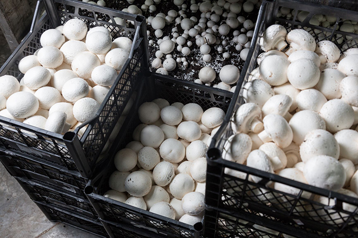 Smart automation heralds a new era in mushroom growing
