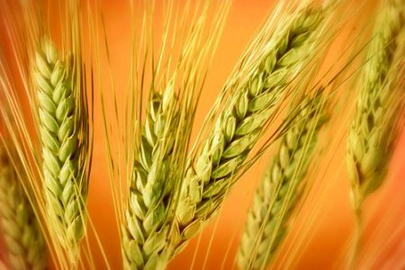 Using pseudocereals to replace wheat in bakery products