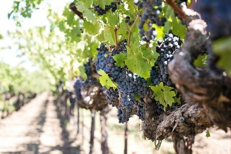 Demand for organic wine forecast to grow