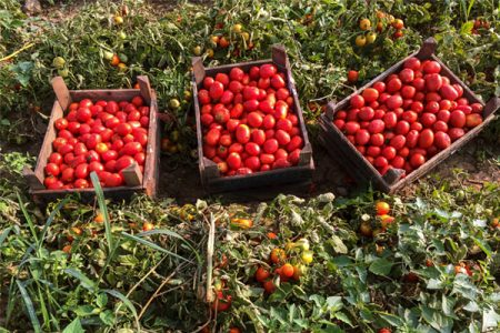 Lycored's tomato extract is first to achieve non-GMO project verification